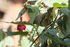 Orange-crowned Warbler in Fuchsia flowers