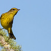 Palm Warbler (Yellow)