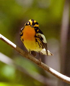 Blackburnian Warbler D3401tight - It is amazing I got any photos of this bird I've only seen once, for only a few seconds, in heavy shade. Spotted on the legendary May 18, 2008.