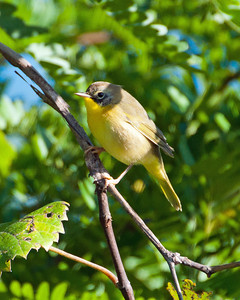 Common Yellowthroat (juv m) SC7494 - Incomplete facemask.