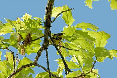 Magnolia Warbler - DSC_3688 2009 - Only sighting.