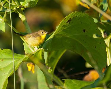 Common Yellowthroat (f) SC8193