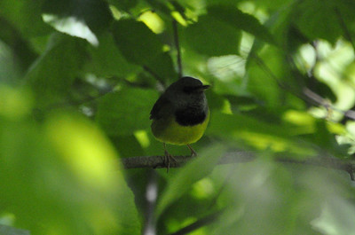 Mourning Warbler (m) - _DSC2283 Only sighting in horrible light.