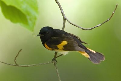 American Redstart (Warbler) D3493