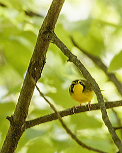 Kentucky Warbler - May 18, 2008 - D3498 - One of only two sightings.