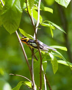Blackburnian Warbler 3395