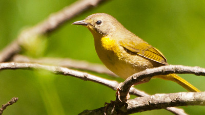 Comon Yellow Throat (f)