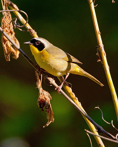 Common Yellowthroat (m) SC6062Bright