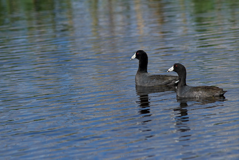American Coots, central Florid