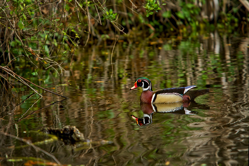 Male Wood duck, central Florida, photographer - Jerry Dalrymple