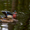 Wood duck pair, central Florida, photographer - Jerry Dalrymple