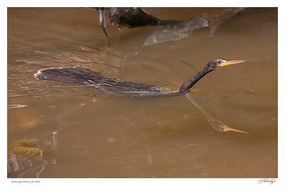 Anhinga looking for food