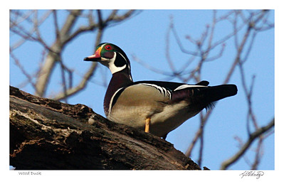 Wood Duck up in a tree