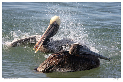 Brown Pelicans, Adult and Juvenal