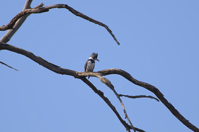 Belted Kingfisher (m) - D8200 - The females wear the belts.