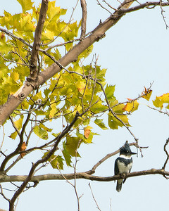 Belted Kingfisher (m)