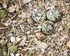 Killdeer Eggs PippingDX9214
