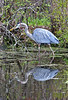 Blue Heron Reflection