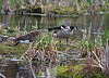 Nesting Geese Honking