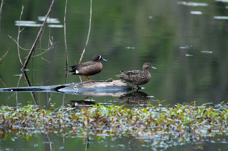 Blue Winged Teal Pair - male has the half moon face.