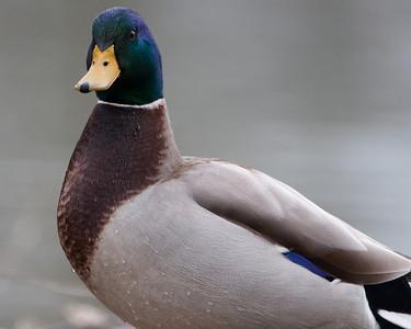 """Mallard (m) """"Purple Mallard Pose"""" D0714"""