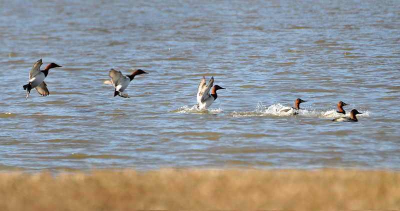 Canvasback - Multi-exposure