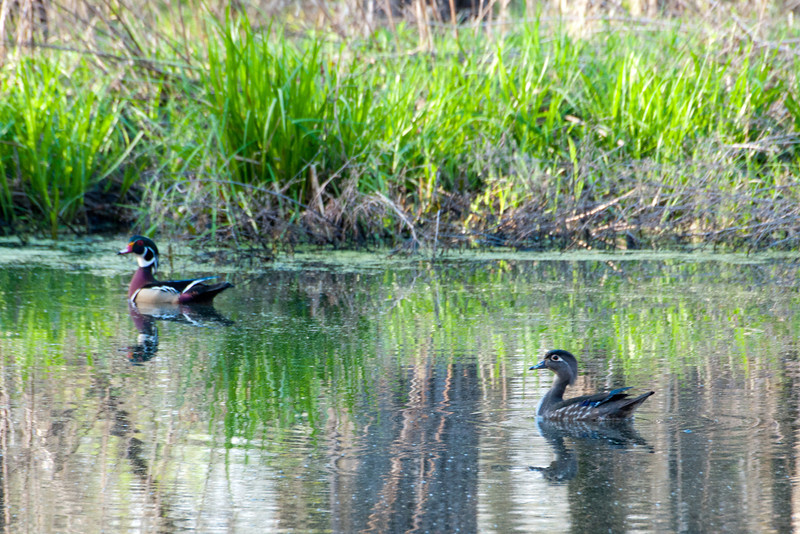 Wood Duck Pair 5738