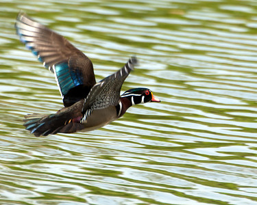 "Wood Duck (m) - ""Wood Duck Flight"" _DSC4416"