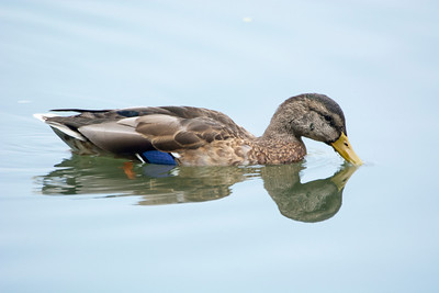 Eclipse Variation of Mallard (m)