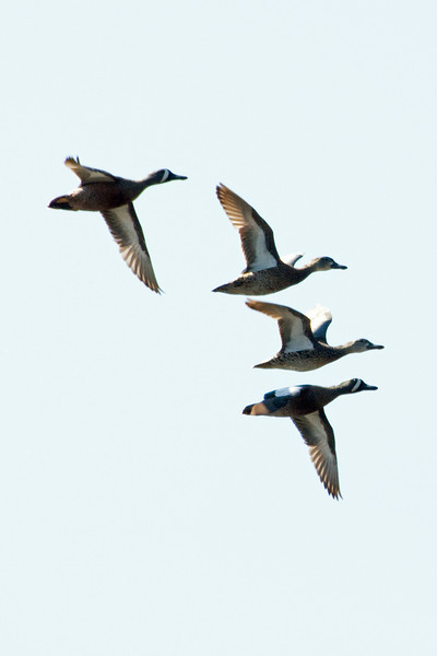 Blue Winged Teal - Two Pair