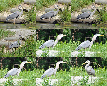 Great Blue Heron - Fishing Multi-panel