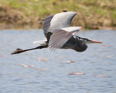 "Great Blue Heron D6883 ""Flight GBH"""