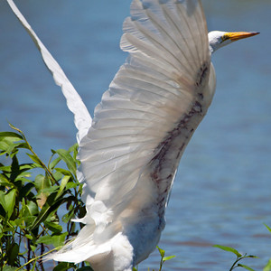 "Great Egret - ""Angel Wing"""