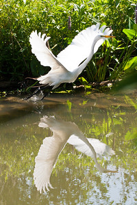 "Great Egret - ""Great Egret Launch"" 8140"