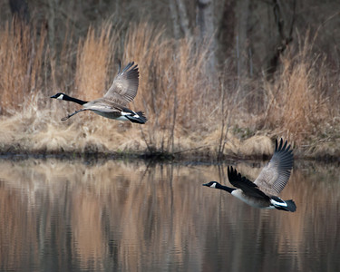 Canadian Geese - March Geese DSC3499