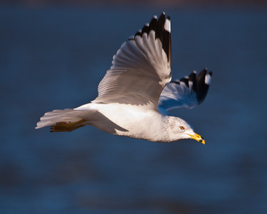 Ring-Billed Gull - (seagull) - C9347 - Riverlands