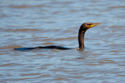 Cormorant, Double Crested - C6387