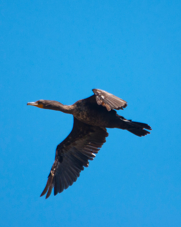 "Cormorant, Double Crested - ""Cormorant Flight"""