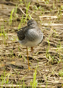 (juv) Greater Yellowlegs