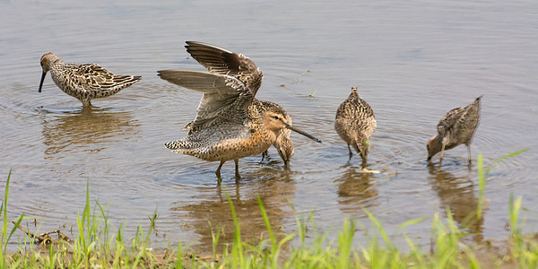 Stilt Sandpipers and Short Billed Dowitchers