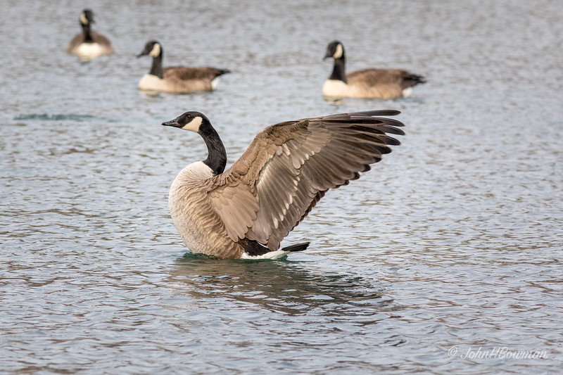 Attention-grabbing Goose (2 of 4) - Wing Stretch 2