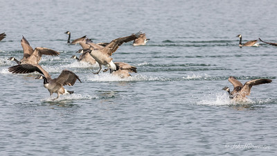 Flurry of Activity - Geese Landing (1 of 5)