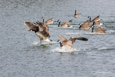Flurry of Activity - Geese Landing (4 of 5)