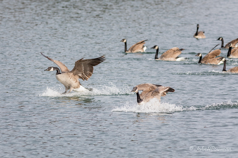 Flurry of Activity - Geese Landing (3 of 5)