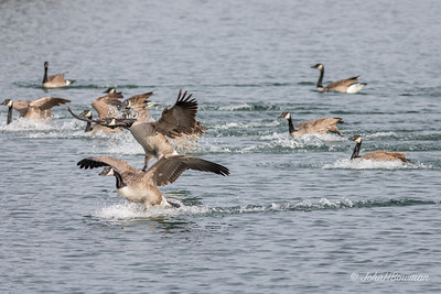 Flurry of Activity - Geese Landing (2 of 5)