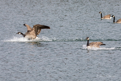 Flurry of Activity - Geese Landing (5 of 5)
