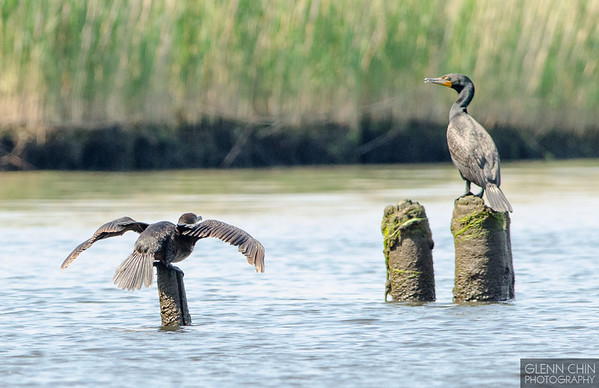 Cormorant take-off.  Ready.
