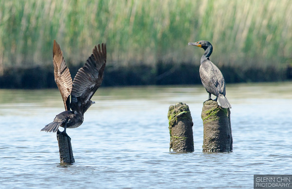 Cormorant take-off.  Set.