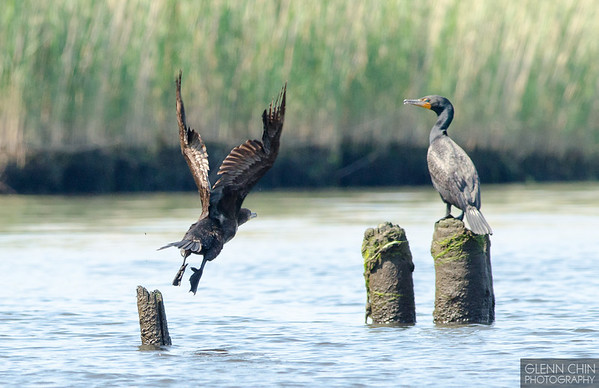 Cormorant take-off.  Go!