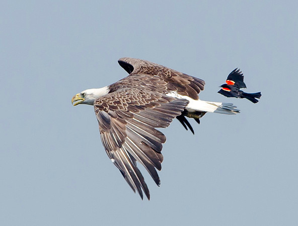 Bald eagle being chased by a Red Winged Blackbird.